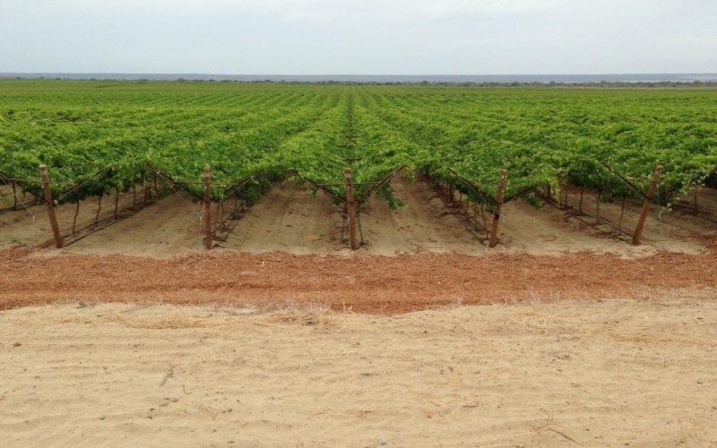 South American Vineyard in bloom