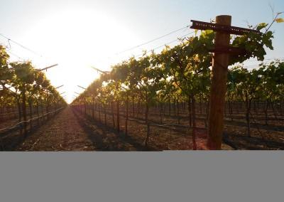 Looking down a vineyard row