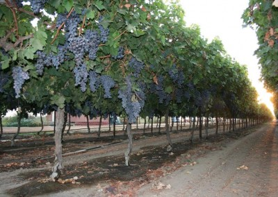 Mature table grapes