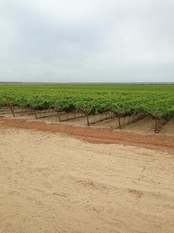 Piura, Peru-full vineyard view-Feb 2015